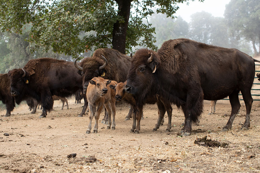 Ranch Tour - Bison